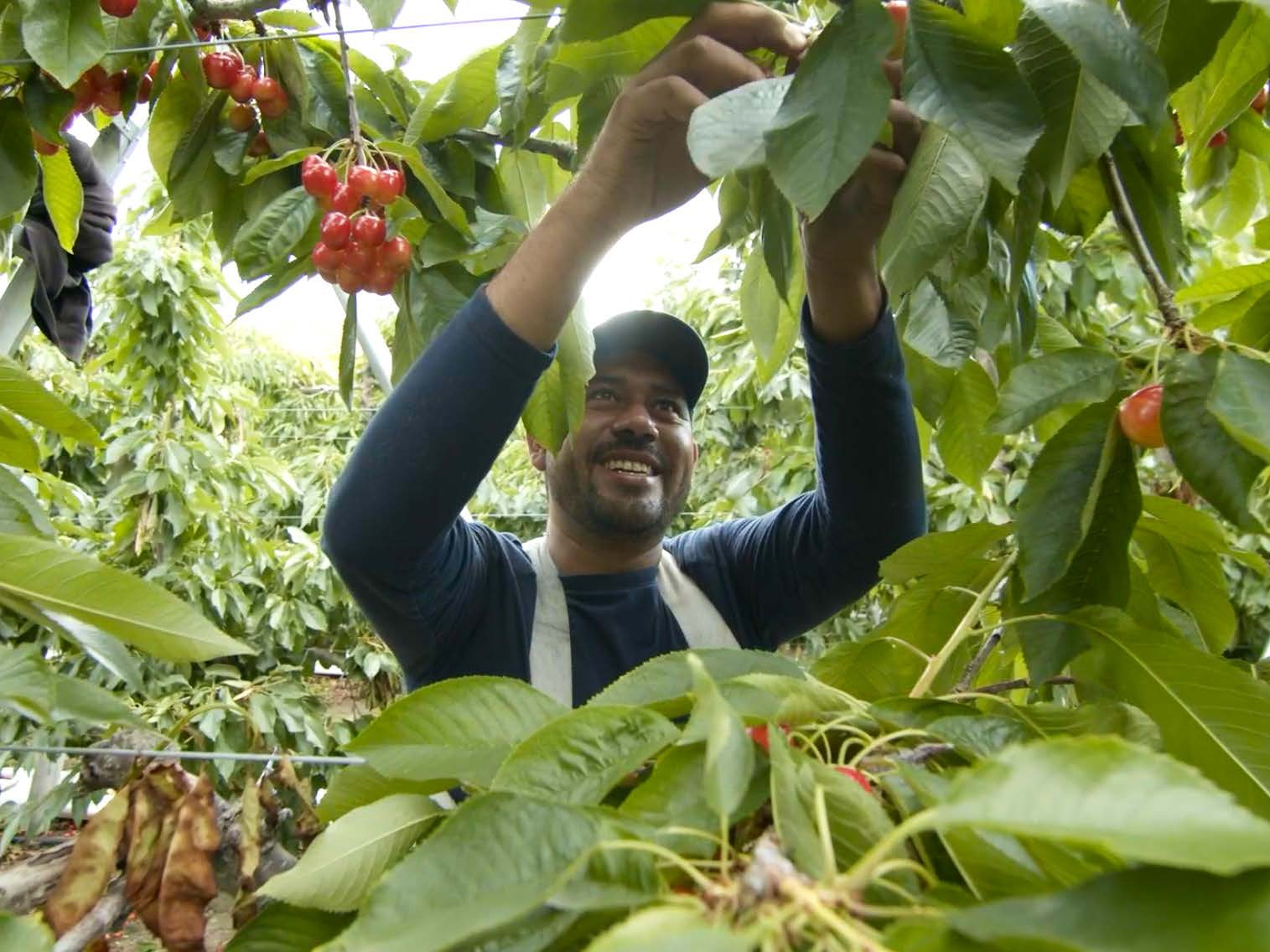 cherry orchard worker