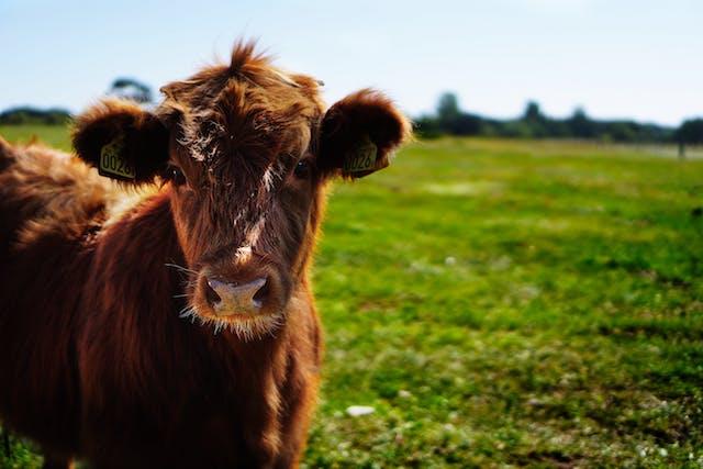 bull-calf-heifer-ko-162240 (1)