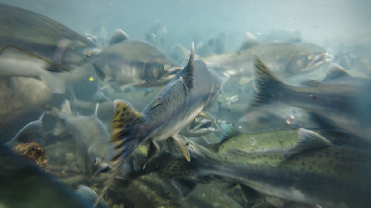 Salmon stock screenshot