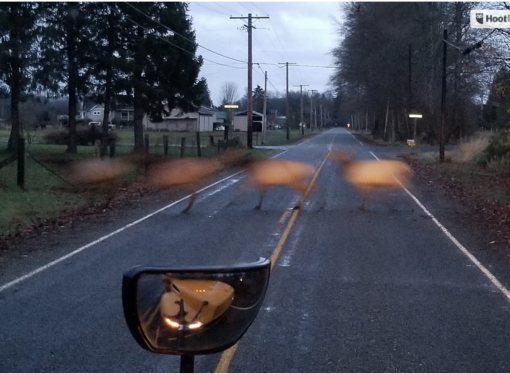 KING5 News Highlights Serious Risks Posed by Too Many Elk in Skagit Farm Area